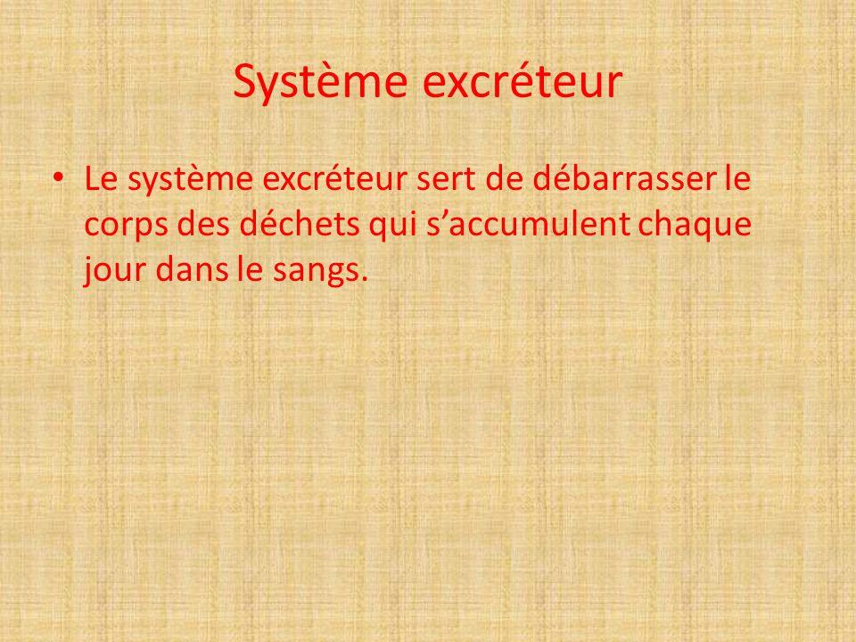 Système excréteur Le système excréteur sert de débarrasser le corps des déchets qui saccumulent chaque jour dans le sangs.