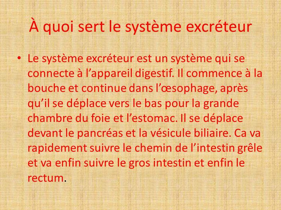 À quoi sert le système excréteur Le système excréteur est un système qui se connecte à lappareil digestif.
