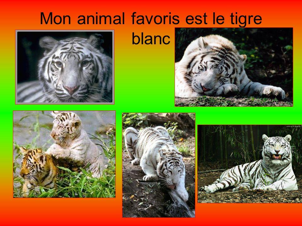 Bonjour je mappelle Jessy Aujourdhui je vais vous présenter mon animal favoris le tigre blanc Je les choisi parce que il est beau et est très intellig