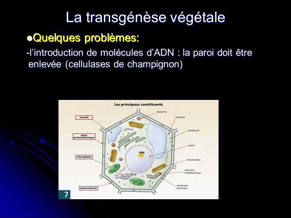 La transgénèse végétale Quelques problèmes: Quelques problèmes: -lintroduction de molécules dADN : la paroi doit être enlevée (cellulases de champigno