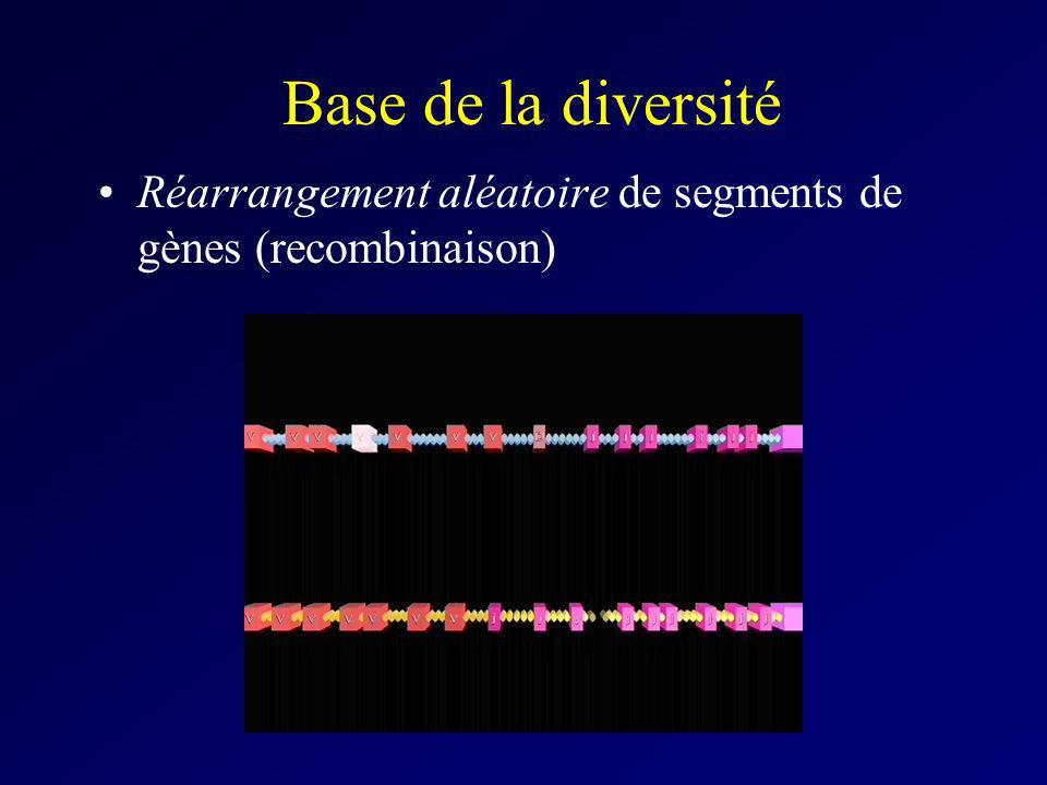 Base de la diversité Réarrangement aléatoire de segments de gènes (recombinaison)