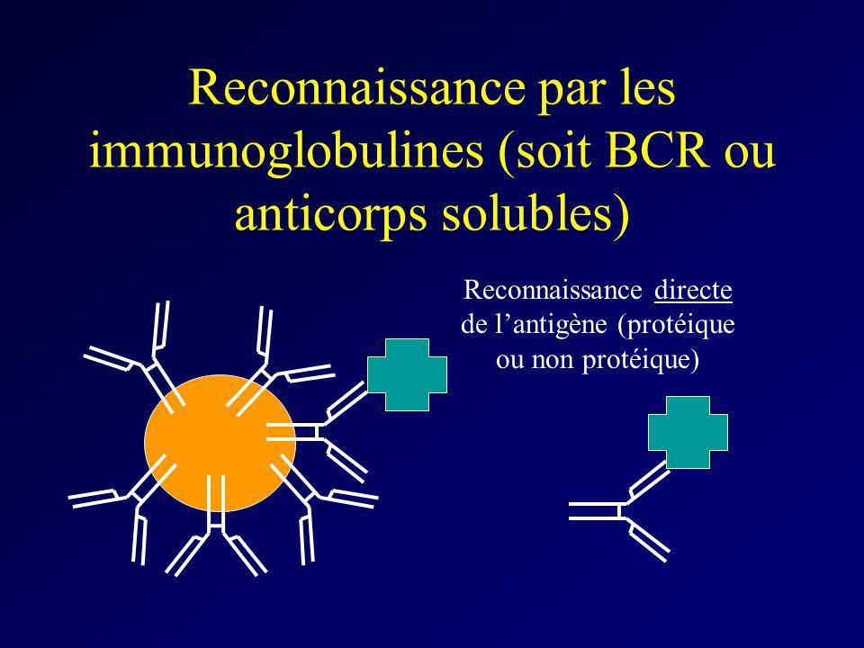 Reconnaissance par les immunoglobulines (soit BCR ou anticorps solubles) Reconnaissance directe de lantigène (protéique ou non protéique)
