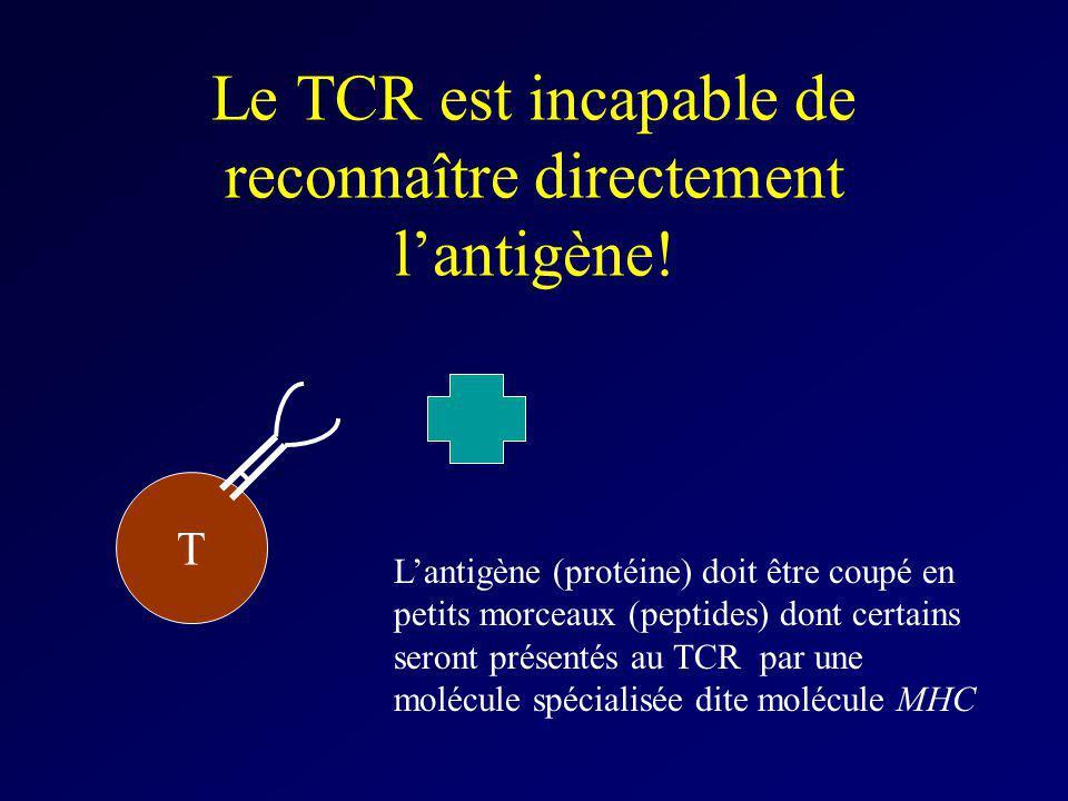T Lantigène (protéine) doit être coupé en petits morceaux (peptides) dont certains seront présentés au TCR par une molécule spécialisée dite molécule
