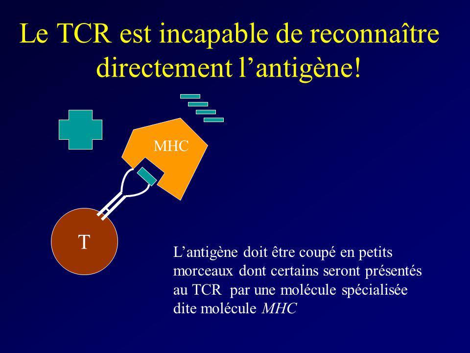 Le TCR est incapable de reconnaître directement lantigène! T Lantigène doit être coupé en petits morceaux dont certains seront présentés au TCR par un