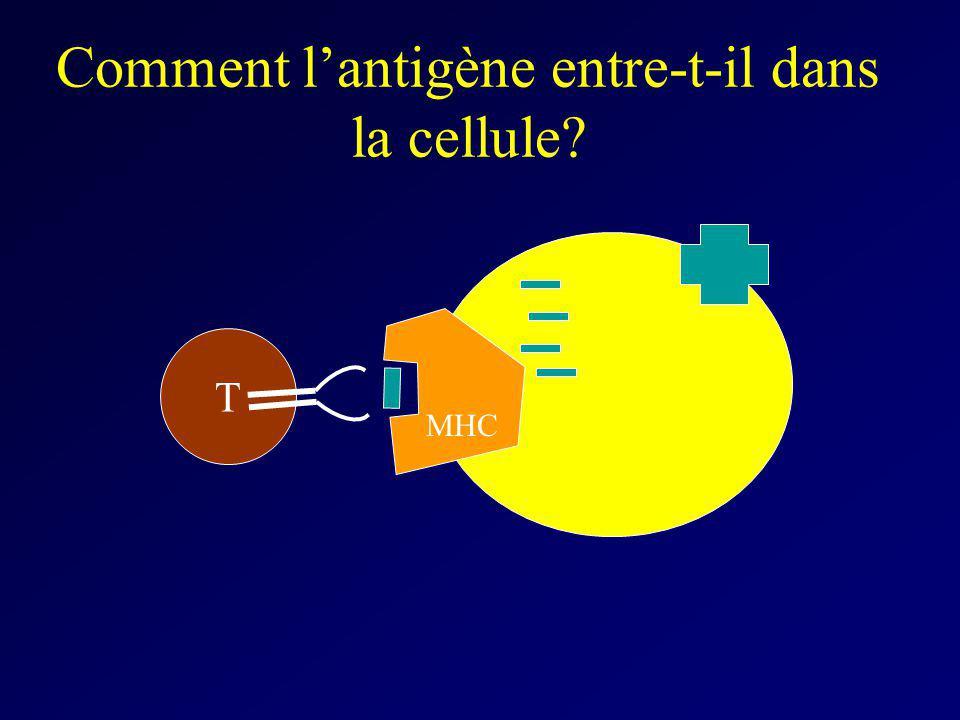 Comment lantigène entre-t-il dans la cellule? T MHC