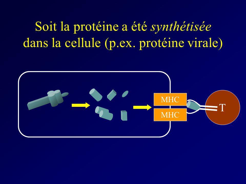 Soit la protéine a été synthétisée dans la cellule (p.ex. protéine virale) MHC T