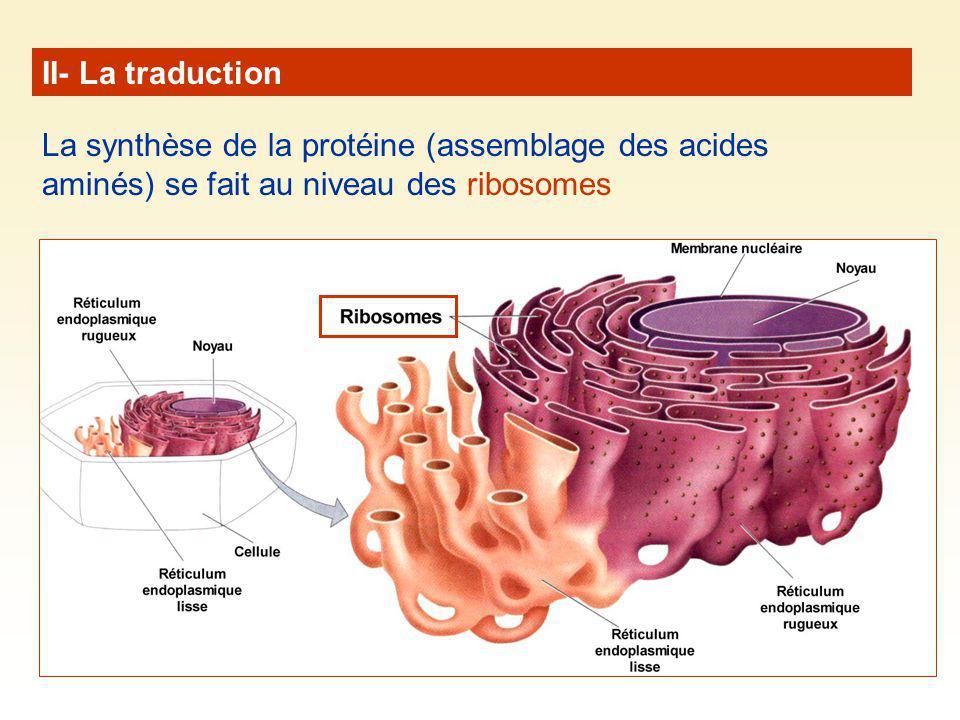 II- La traduction La synthèse de la protéine (assemblage des acides aminés) se fait au niveau des ribosomes