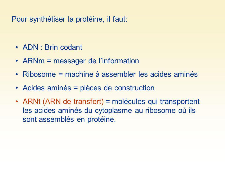 Pour synthétiser la protéine, il faut: ADN : Brin codant ARNm = messager de linformation Ribosome = machine à assembler les acides aminés Acides aminé
