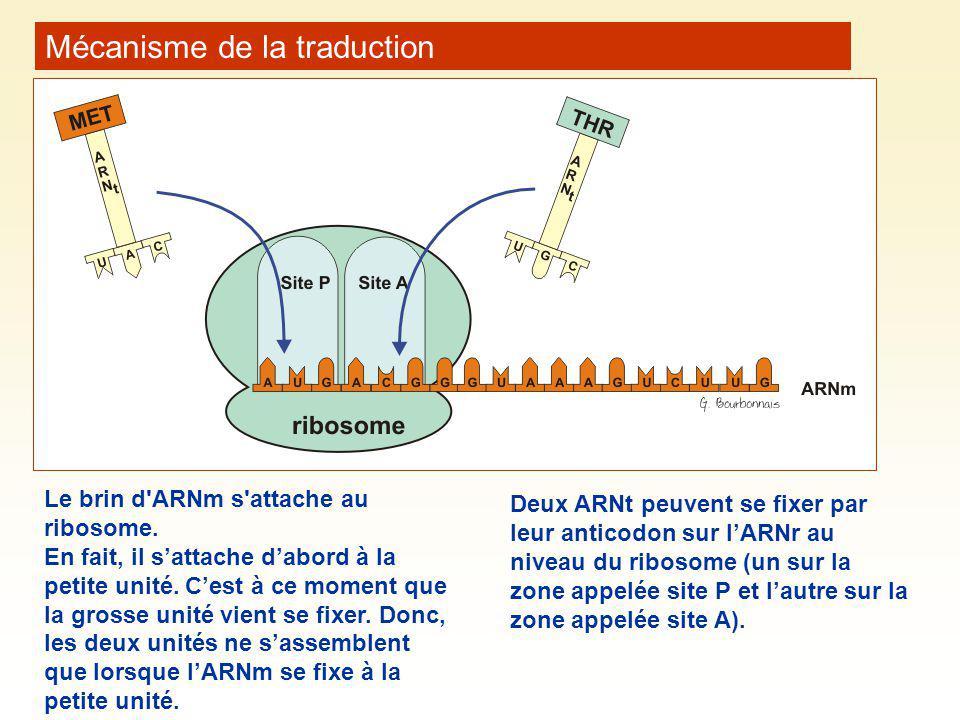 Mécanisme de la traduction Le brin d'ARNm s'attache au ribosome. En fait, il sattache dabord à la petite unité. Cest à ce moment que la grosse unité v