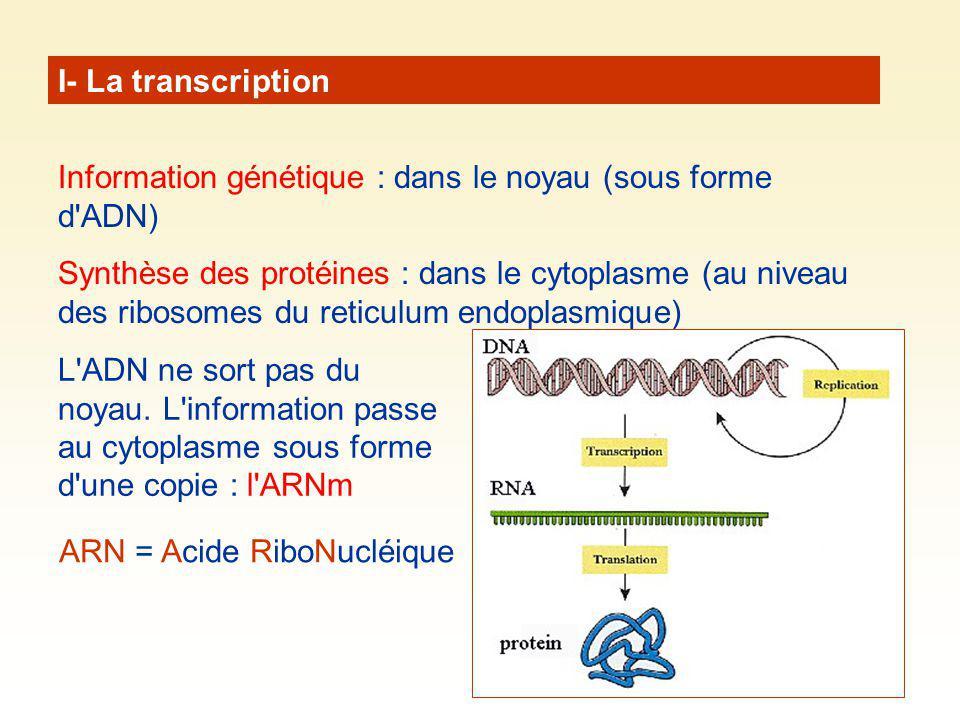 I- La transcription Information génétique : dans le noyau (sous forme d'ADN) Synthèse des protéines : dans le cytoplasme (au niveau des ribosomes du r