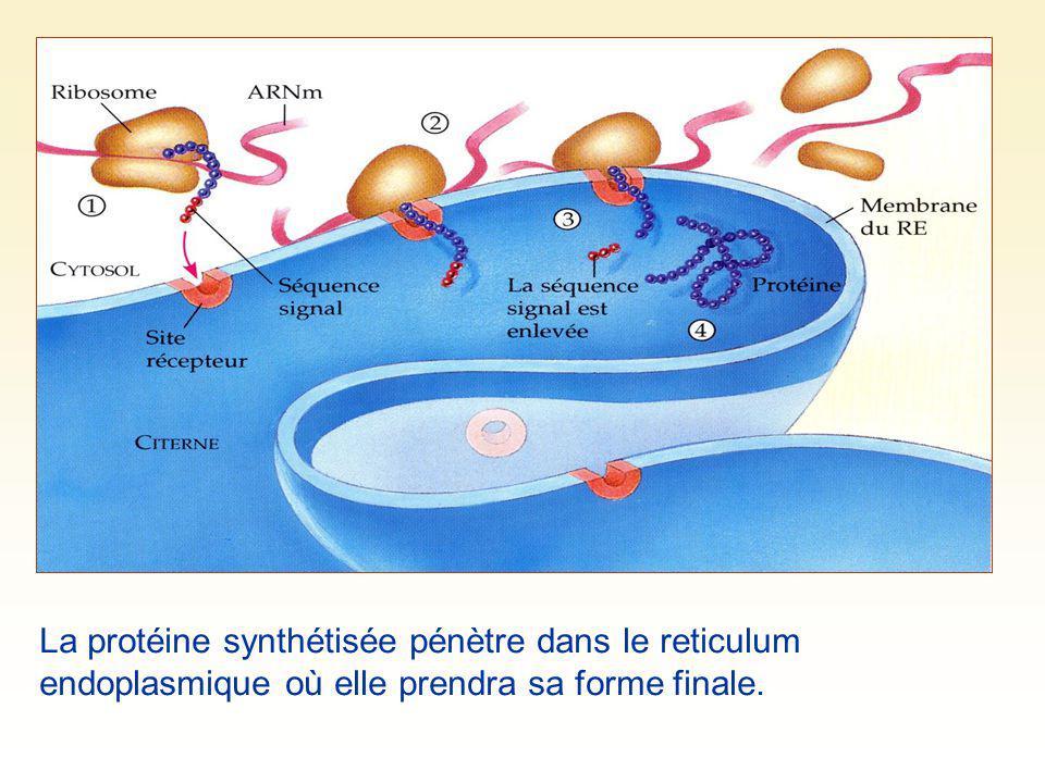 La protéine synthétisée pénètre dans le reticulum endoplasmique où elle prendra sa forme finale.