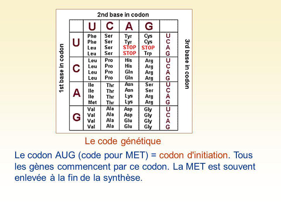 Le code génétique Le codon AUG (code pour MET) = codon d'initiation. Tous les gènes commencent par ce codon. La MET est souvent enlevée à la fin de la