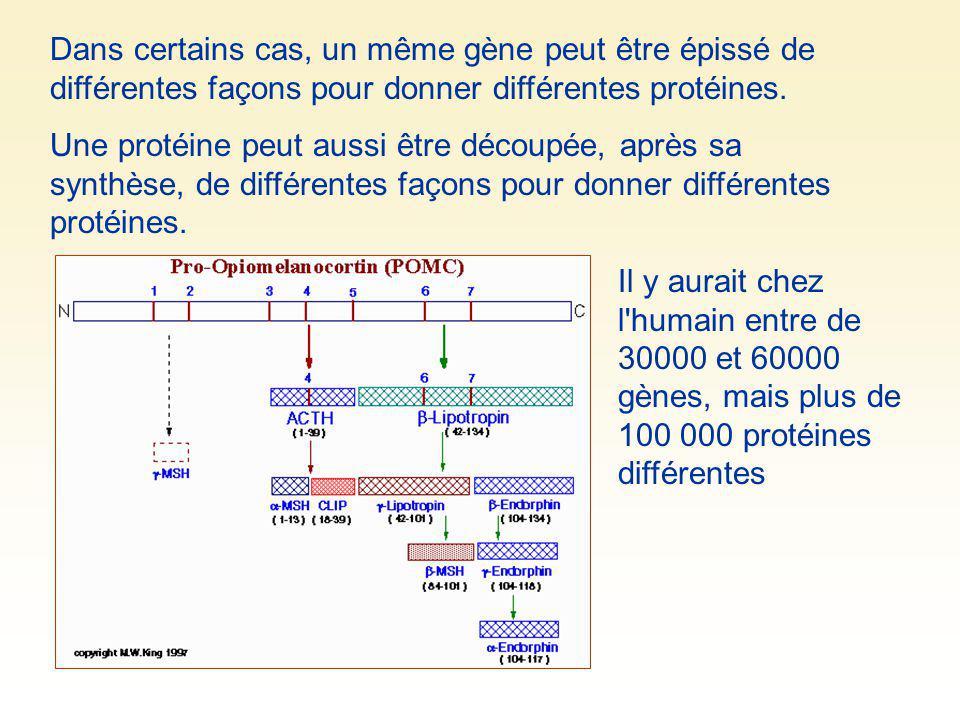 Dans certains cas, un même gène peut être épissé de différentes façons pour donner différentes protéines. Une protéine peut aussi être découpée, après