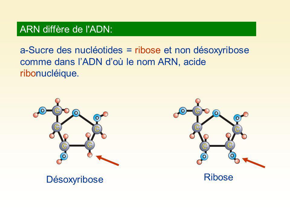 ARN diffère de l'ADN: a-Sucre des nucléotides = ribose et non désoxyribose comme dans lADN doù le nom ARN, acide ribonucléique. Désoxyribose Ribose