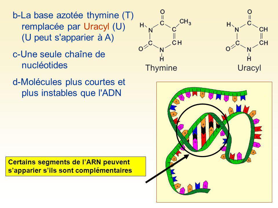 b-La base azotée thymine (T) remplacée par Uracyl (U) (U peut s'apparier à A) c-Une seule chaîne de nucléotides d-Molécules plus courtes et plus insta