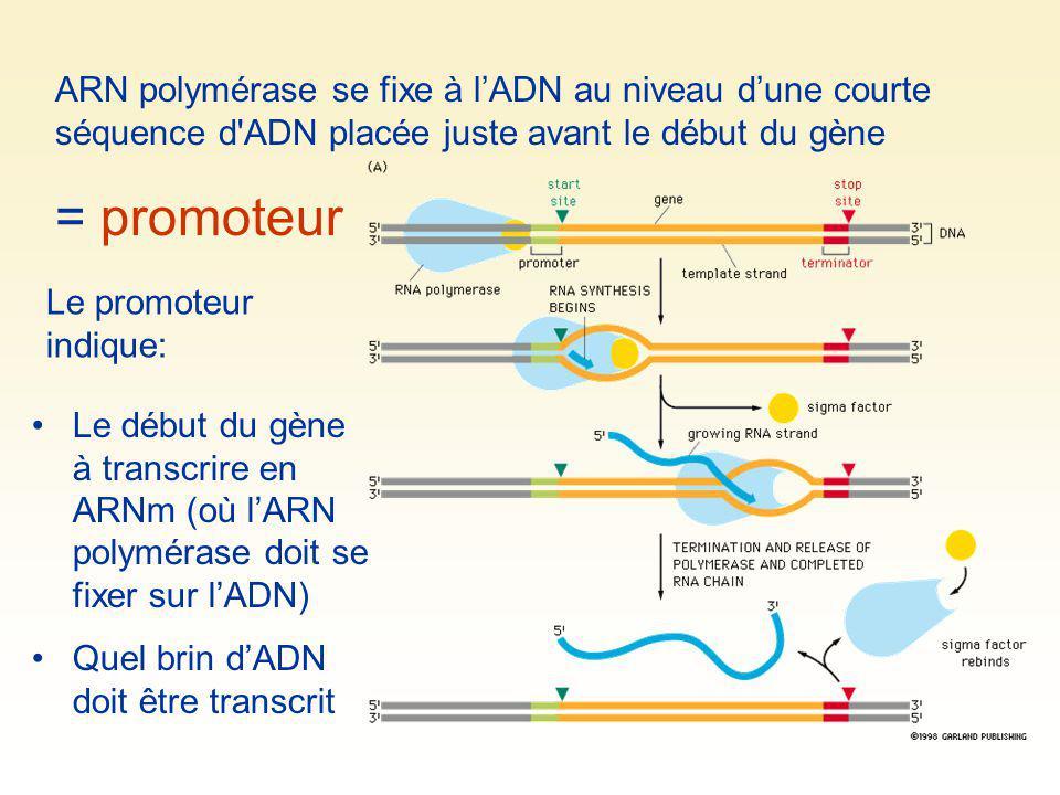 Ribosome ARNm Polypeptide