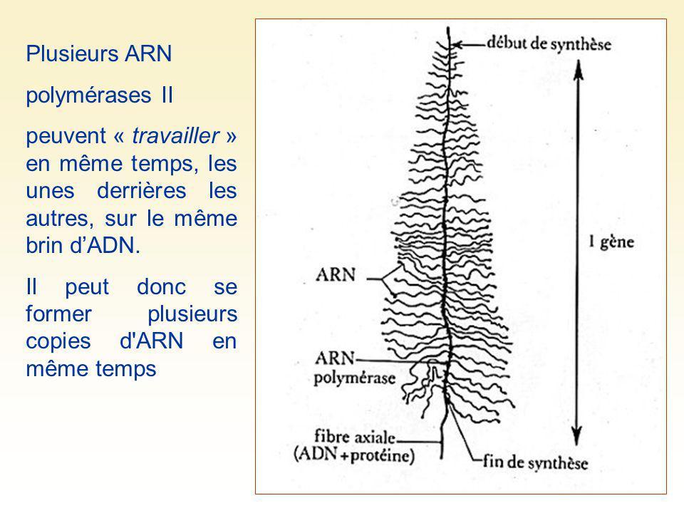 Plusieurs ARN polymérases II peuvent « travailler » en même temps, les unes derrières les autres, sur le même brin dADN. Il peut donc se former plusie