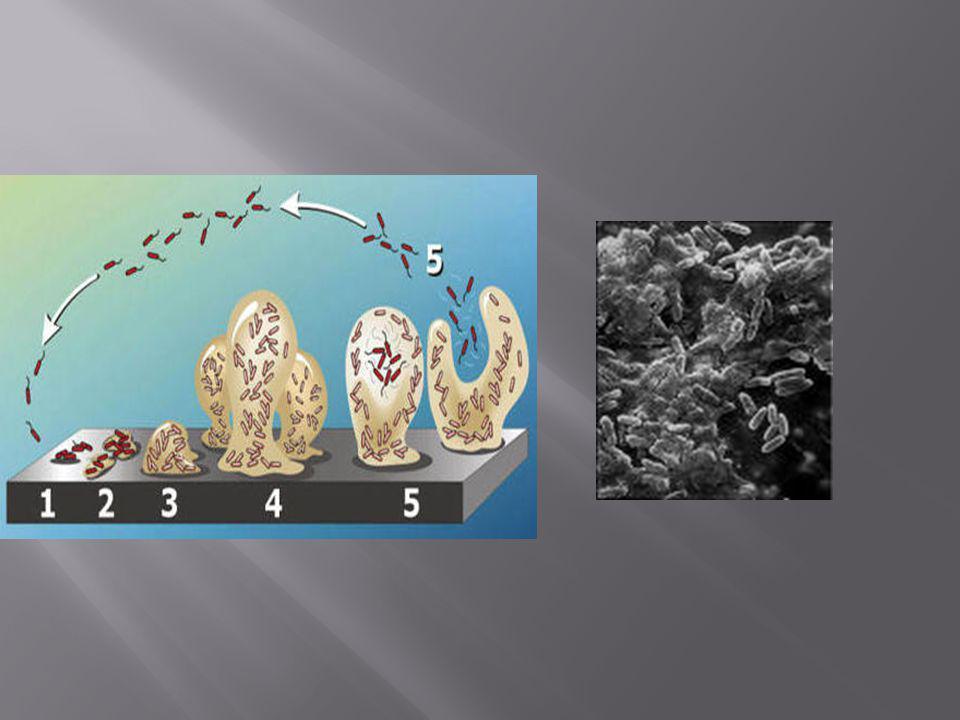 Release of Bacteria from Amoeba
