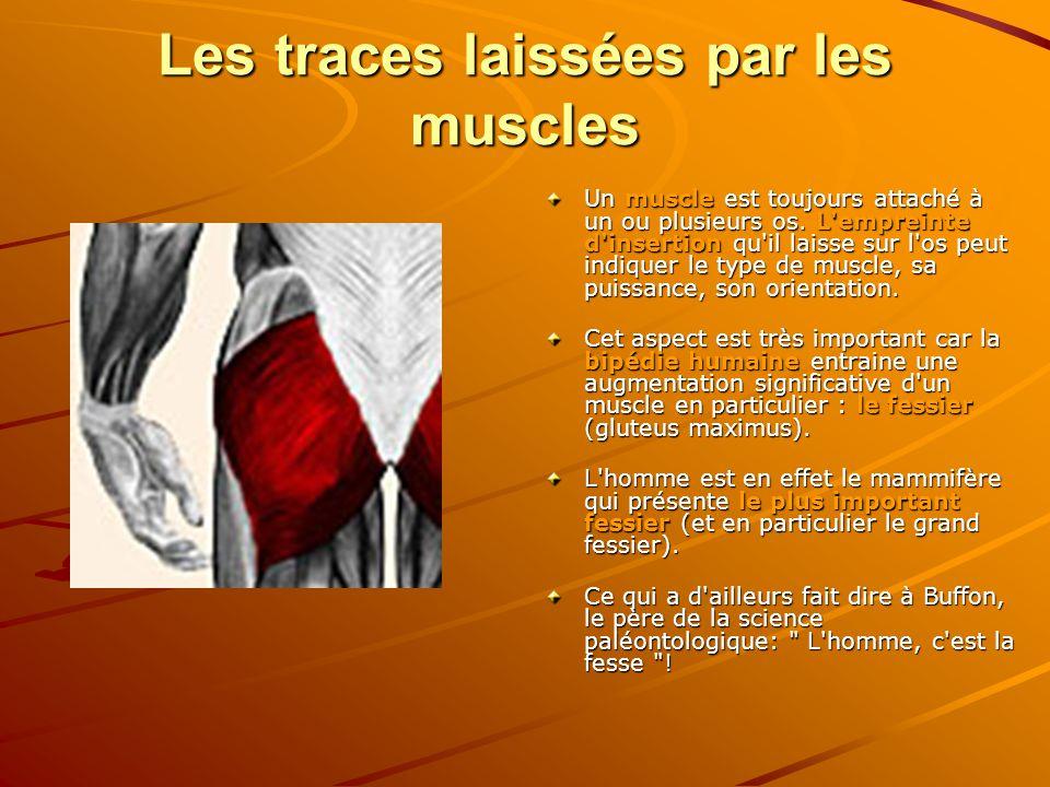 Les traces laissées par les muscles Un muscle est toujours attaché à un ou plusieurs os. L'empreinte d'insertion qu'il laisse sur l'os peut indiquer l