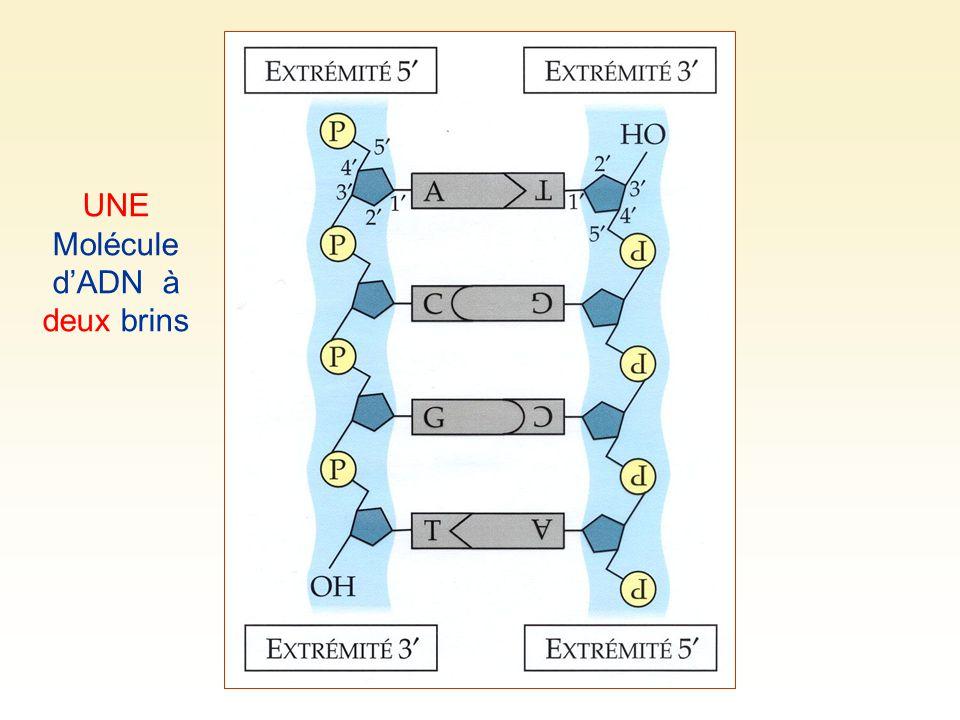 UNE Molécule dADN à deux brins