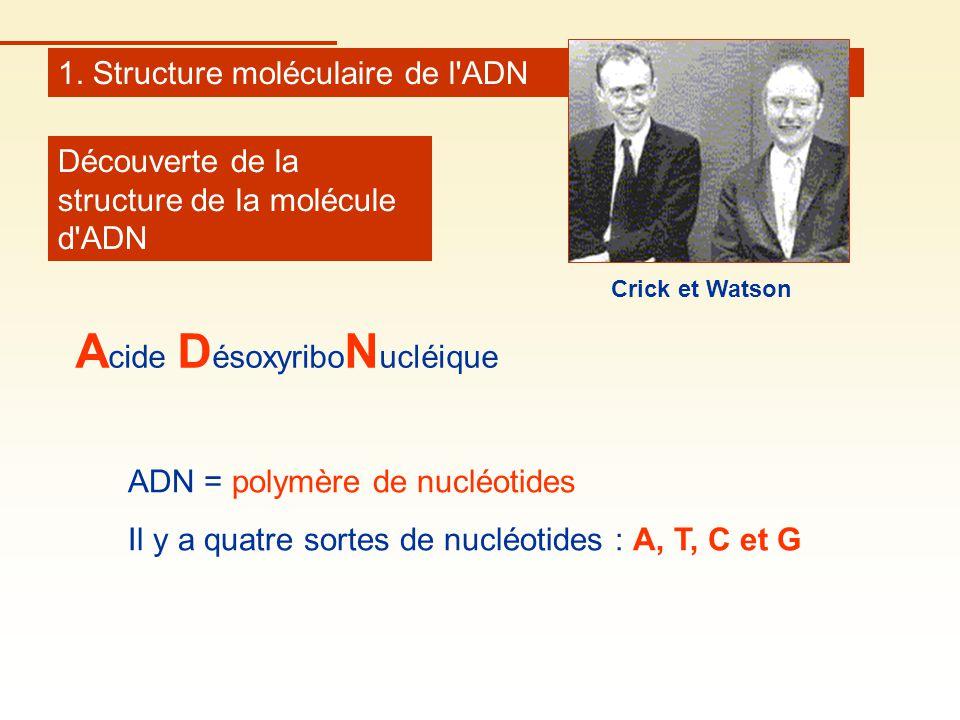 1. Structure moléculaire de l'ADN Découverte de la structure de la molécule d'ADN ADN = polymère de nucléotides Il y a quatre sortes de nucléotides :