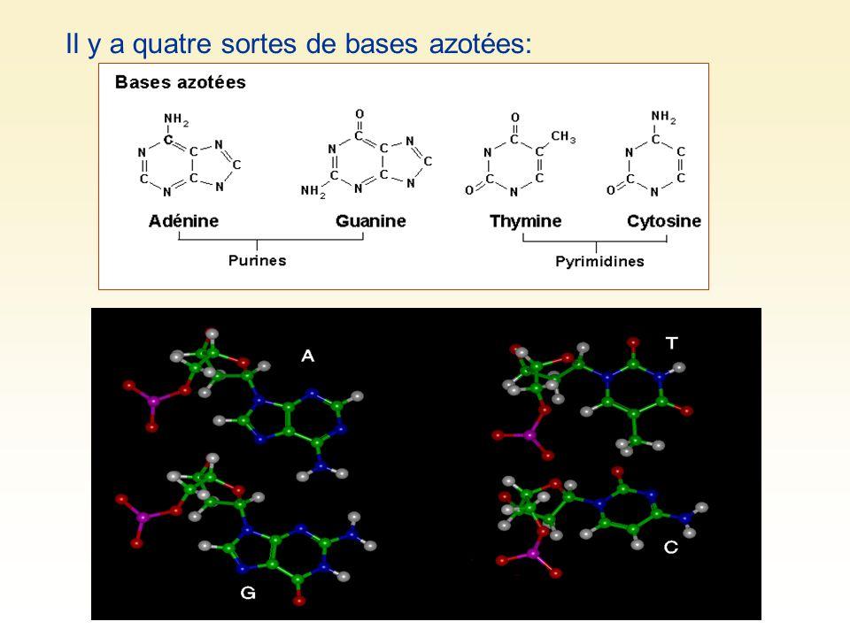 DONC quatre sortes de nucléotides: A, T, C et G Les nucléotides peuvent se lier les uns aux autres par leur sucre (désoxyribose) et leur groupement phosphate : liaison forte phosphate-désoxyribode.