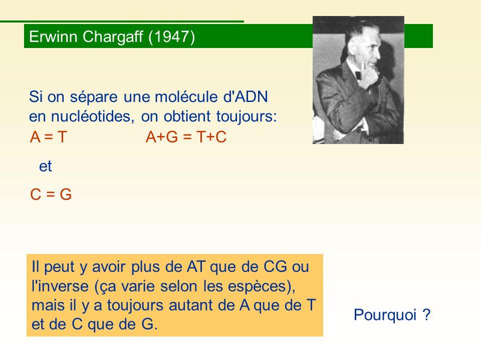Erwinn Chargaff (1947) Si on sépare une molécule d ADN en nucléotides, on obtient toujours: Il peut y avoir plus de AT que de CG ou l inverse (ça varie selon les espèces), mais il y a toujours autant de A que de T et de C que de G.