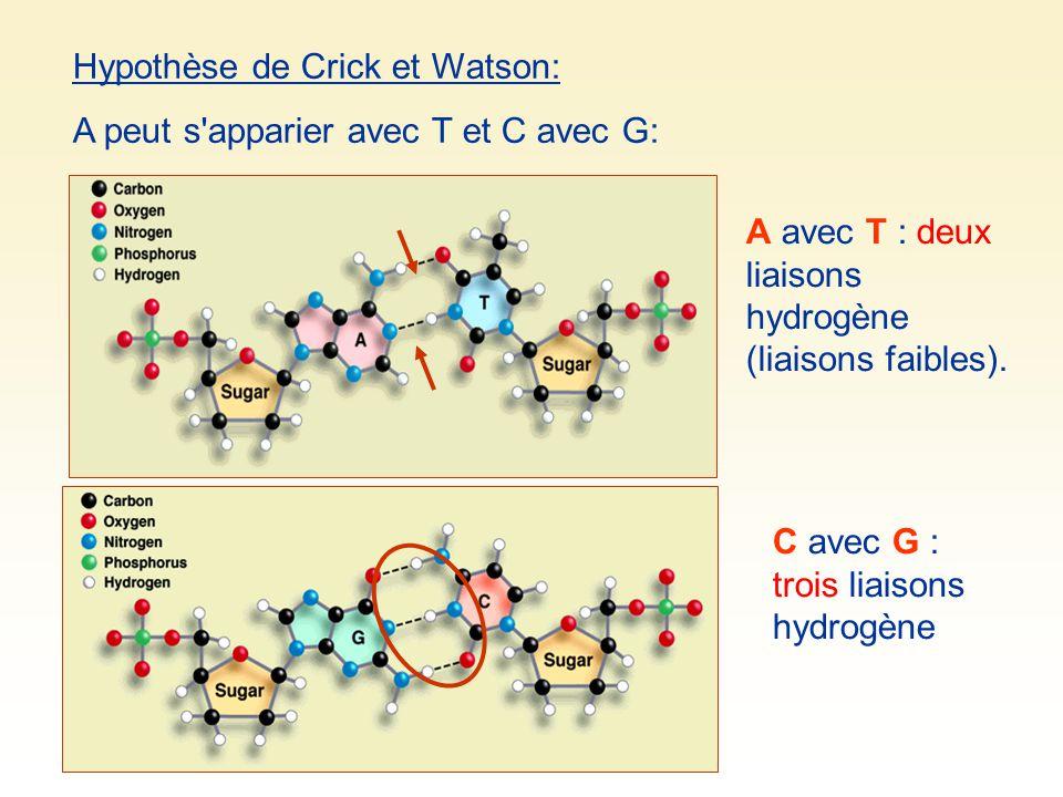 Hypothèse de Crick et Watson: A peut s apparier avec T et C avec G: A avec T : deux liaisons hydrogène (liaisons faibles).