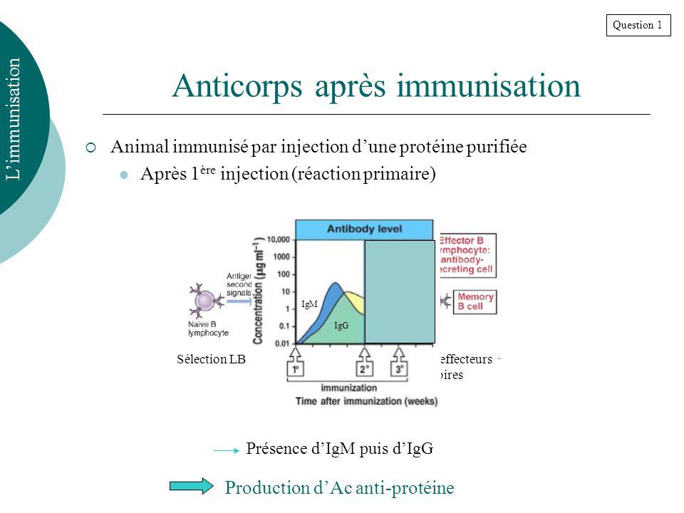 Anticorps après immunisation Animal immunisé par injection dune protéine purifiée Après 1 ère injection (réaction primaire) Limmunisation Sélection LB Prolifération LB Deviennent effecteurs ou LB mémoires IgG IgM Présence dIgM puis dIgG Production dAc anti-protéine Question 1