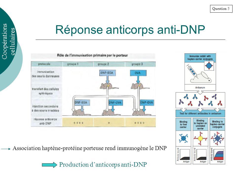 Réponse anticorps anti-DNP Production danticorps anti-DNP Question 5 Coopérations cellulaires Association haptène-protéine porteuse rend immunogène le DNP