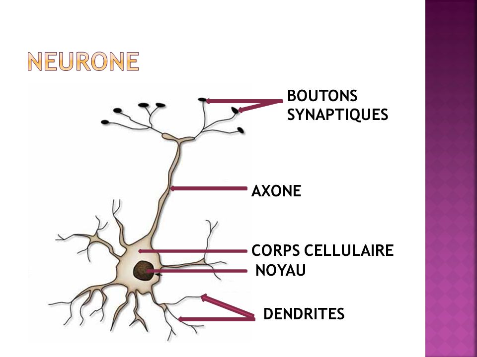 AXONE CORPS CELLULAIRE NOYAU DENDRITES BOUTONS SYNAPTIQUES
