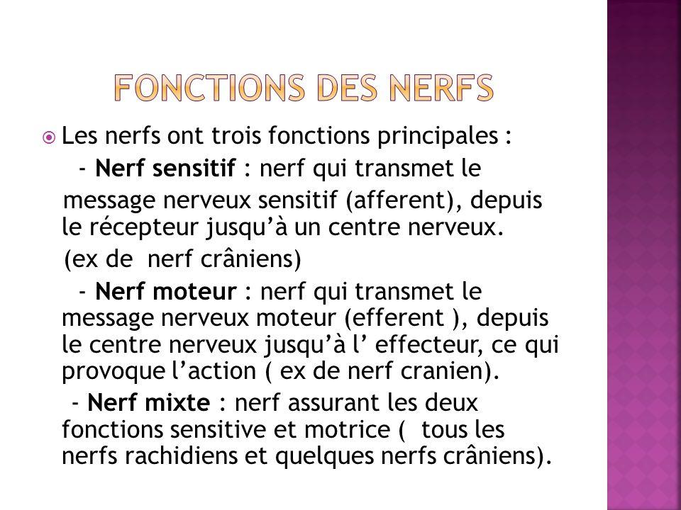 Les nerfs ont trois fonctions principales : - Nerf sensitif : nerf qui transmet le message nerveux sensitif (afferent), depuis le récepteur jusquà un