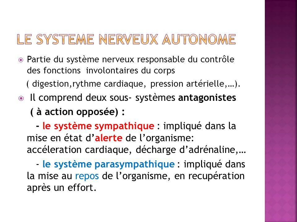 Partie du système nerveux responsable du contrôle des fonctions involontaires du corps ( digestion,rythme cardiaque, pression artérielle,…). Il compre
