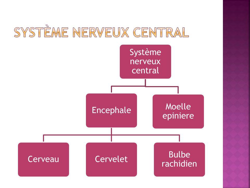 Système nerveux central EncephaleCerveauCervelet Bulbe rachidien Moelle epiniere