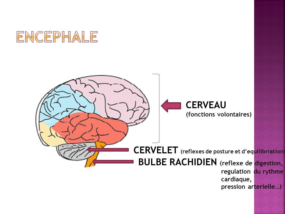 CERVEAU (fonctions volontaires) CERVELET (reflexes de posture et dequilibrration) BULBE RACHIDIEN (reflexe de digestion, regulation du rythme cardiaqu