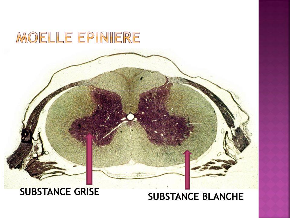 Les nerfs crâniens : issus du tronc cérébral (comprenant le bulbe rachidien).