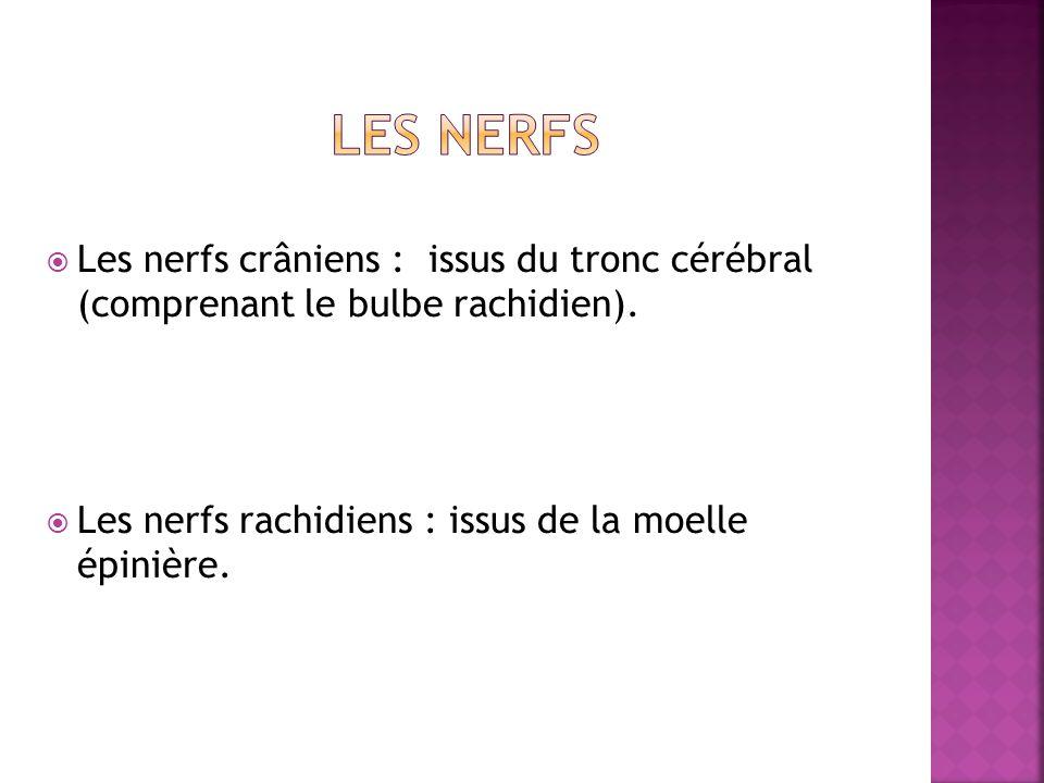 Les nerfs crâniens : issus du tronc cérébral (comprenant le bulbe rachidien). Les nerfs rachidiens : issus de la moelle épinière.