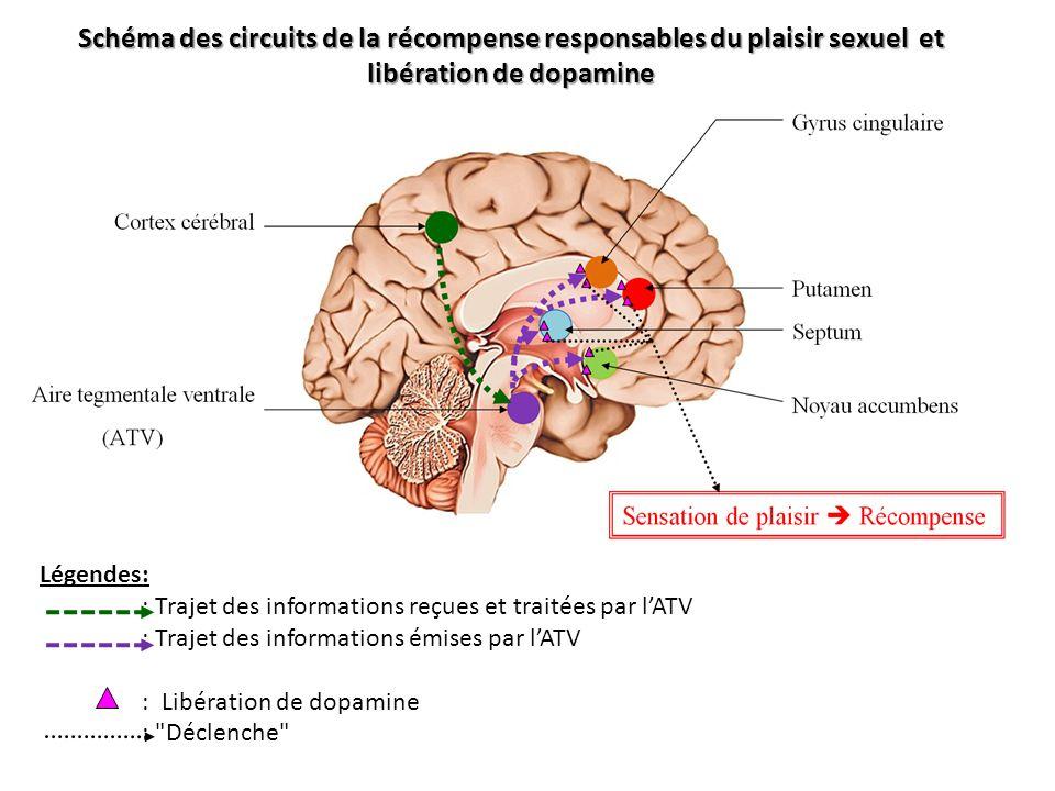 Schéma des circuits de la récompense responsables du plaisir sexuel et libération de dopamine Légendes: : Trajet des informations reçues et traitées p