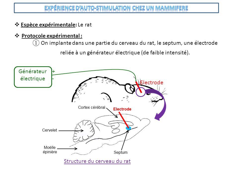 Protocole expérimental : On implante dans une partie du cerveau du rat, le septum, une électrode Espèce expérimentale: Le rat Electrode Générateur éle