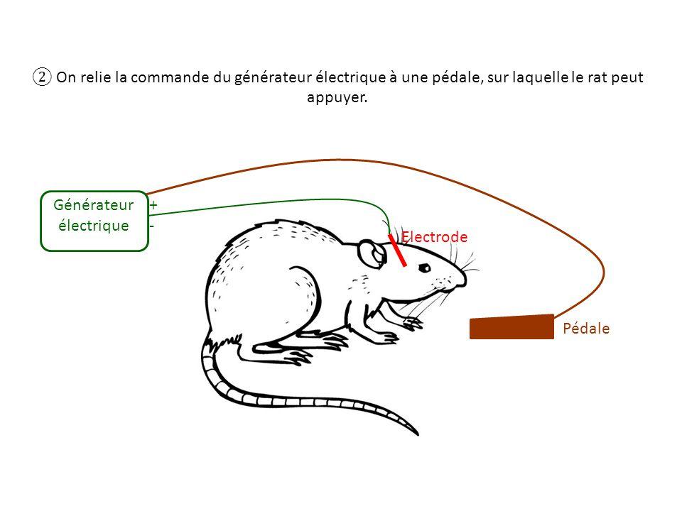 On relie la commande du générateur électrique à une pédale, sur laquelle le rat peut appuyer. Electrode Générateur électrique +-+- Pédale