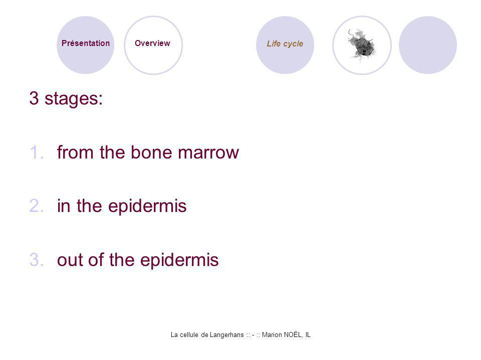 La cellule de Langerhans :: - :: Marion NOËL, IL 3 stages: 1.from the bone marrow 2.in the epidermis 3.out of the epidermis Présentation Overview Life