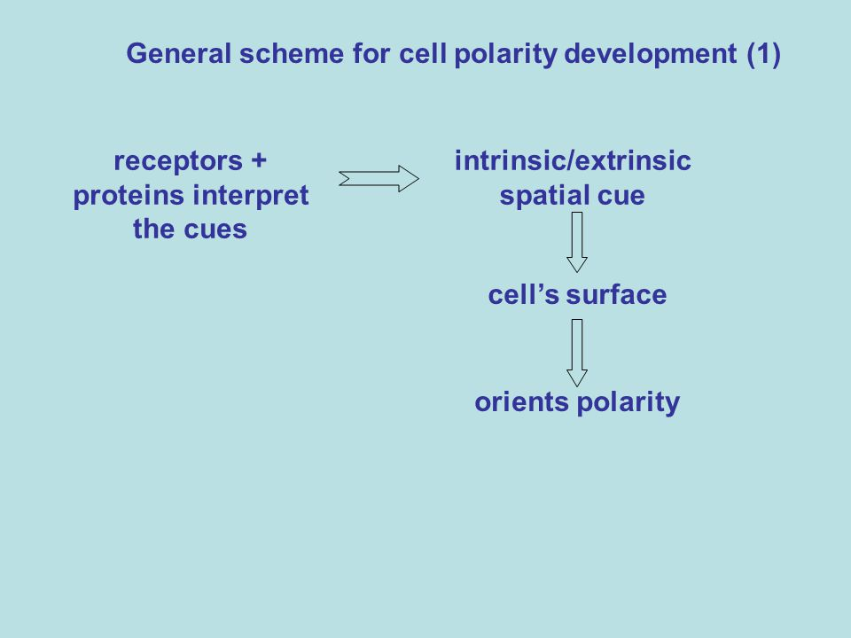 General scheme for cell polarity development (1) receptors + proteins interpret the cues intrinsic/extrinsic spatial cue cells surface orients polarit