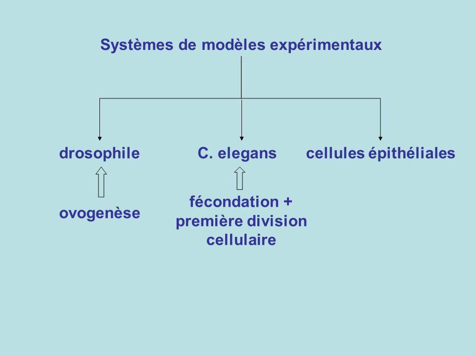 Acquisition dune polarité cellulaire chez la drosophile cellule souche cystoblaste 16 cystocytes 2 cystocytes avec 4 ponts cytoplasmiques cystocyte ayant le plus de fusome ovocyte x 4 ovogenèse