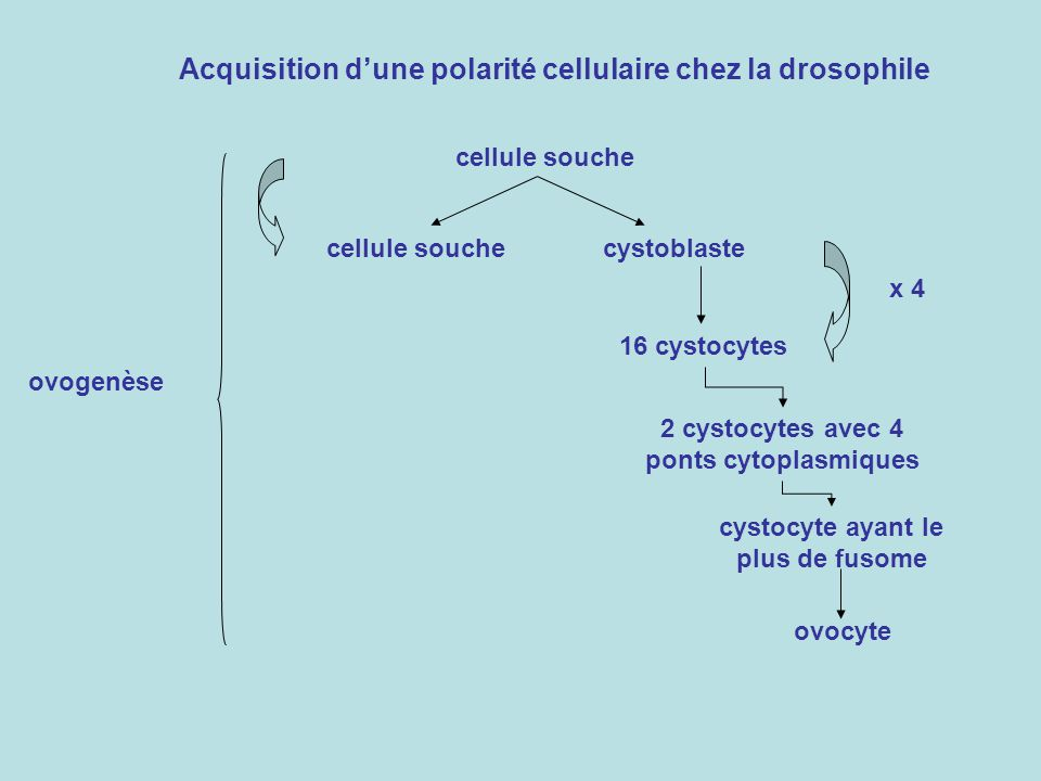 Acquisition dune polarité cellulaire chez la drosophile cellule souche cystoblaste 16 cystocytes 2 cystocytes avec 4 ponts cytoplasmiques cystocyte ayant le plus de fusome ovocyte x 4 ovogenèse