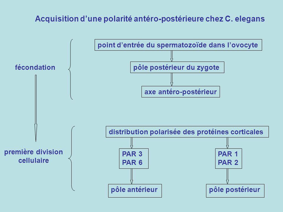 fécondation spermatozoïde pronucleus contenant lADN ou anucléé centrosome unique formation du fuseau mitotique activité polarisante