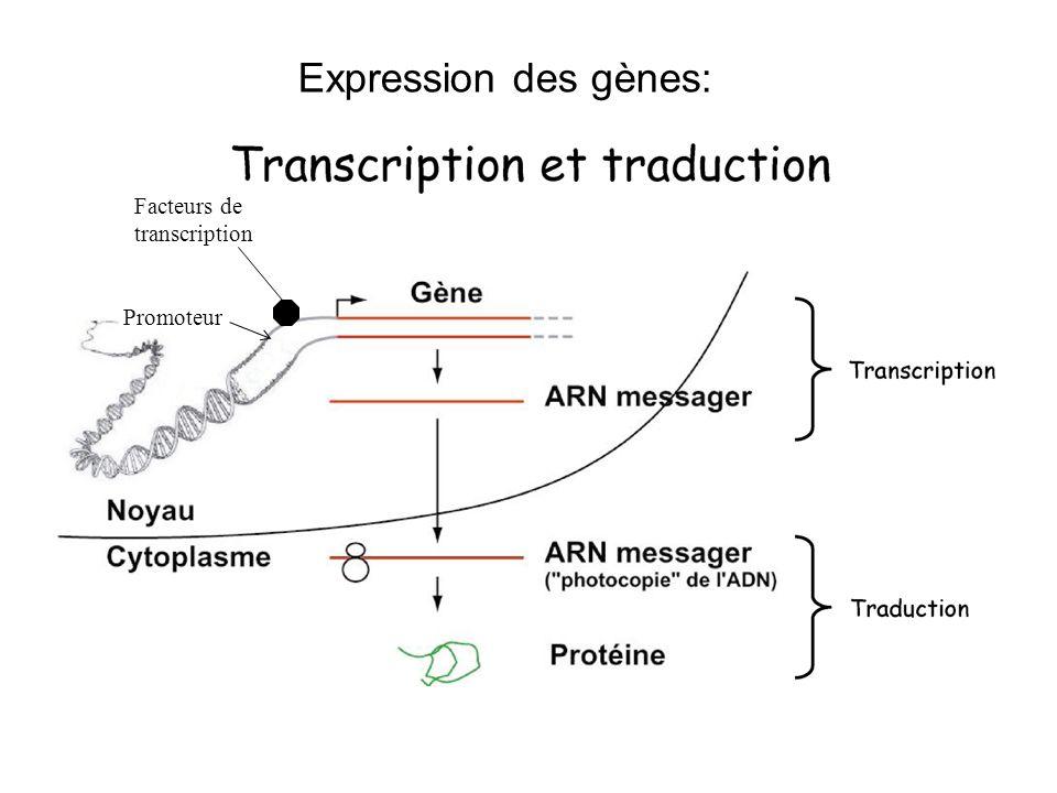 Facteurs de transcription Expression des gènes: Promoteur