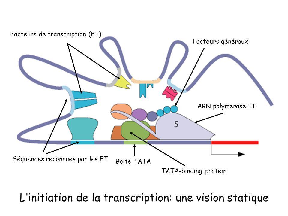 Boite TATA TATA-binding protein ARN polymerase II Facteurs généraux Facteurs de transcription (FT) Séquences reconnues par les FT Linitiation de la transcription: une vision statique