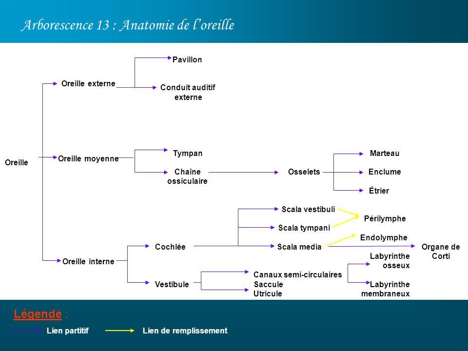 Arborescence 13 : Anatomie de loreille Légende : Oreille Lien partitif Oreille externe Oreille moyenne Oreille interne Marteau Enclume Étrier Périlymp