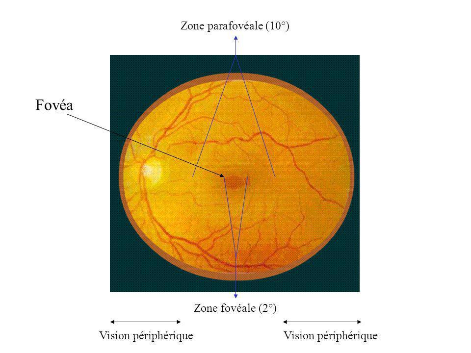 Fovéa Zone fovéale (2°) Zone parafovéale (10°) Vision périphérique