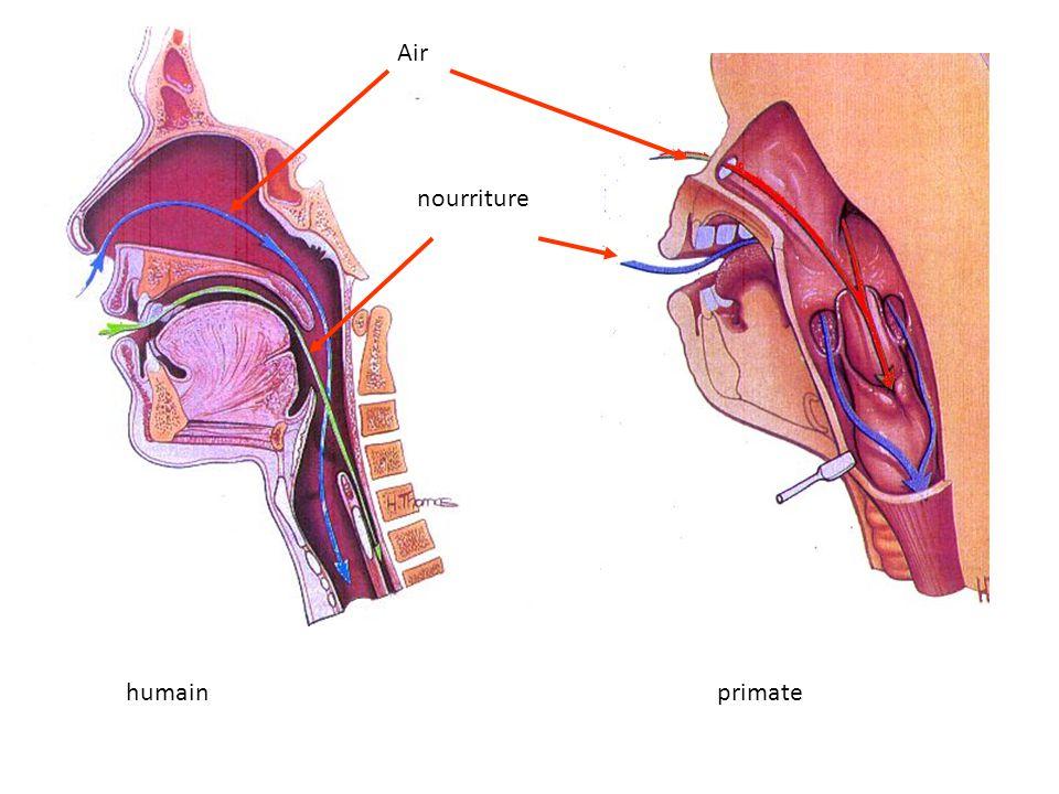 larynx La position du larynx chez le singe (à gauche) est plus haute que chez lhomme (à droite), les vibrations émises par les cordes vocales peuvent résonner dans les espaces ainsi libérés.